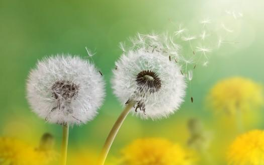 https://www.hdwallpapers.in/dandelion_flowers_4k-wallpapers.html